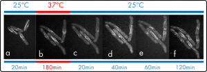 Fig 2: CDC25 ts S. pombe reversible control of mitosis arrest by CherryTemp Yeast division occurs normally at 25°C (a) but is suddenly stopped when temperature is quickly shifted to 37°C (b). Mitosis only restarts when temperature is set back to 25°C (c, d, e, f)