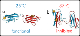 CDC25 protein dynamic control of microtubules