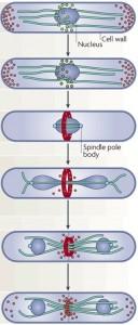 temperature-control-cytokinesis-s-pombe