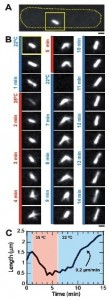 Temperature-control-microscopy-fission-yeast-2