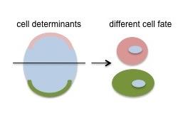 temperature-control-assymetric-division-c-elegans-1