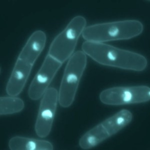 Yeast: Cell cycle and thermosensitive mutations