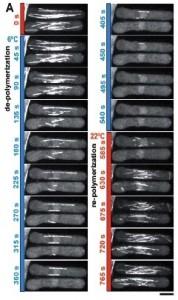 temperature-control-microcopy-fission yeast