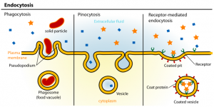 cell lines : temperature control microscopy endocytosis