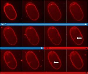 temperature heater cooler for microscopy c elegans embryo cyk4 ts mutant