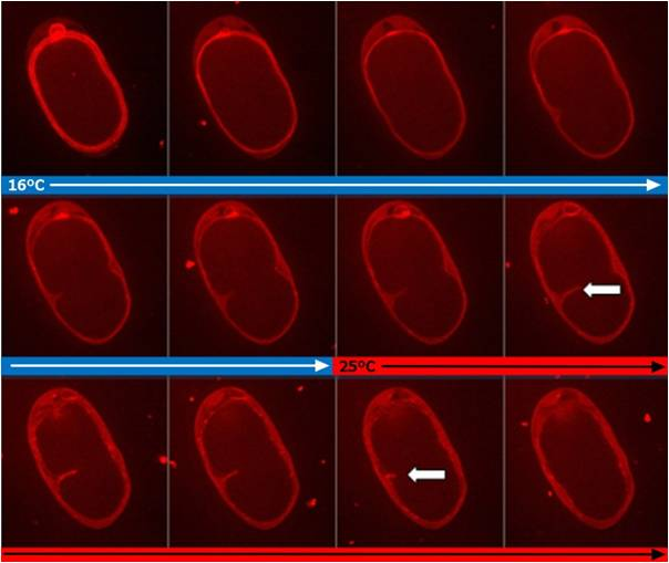 Cytokinesis arrest in C. elegans temperature sensitive mutants