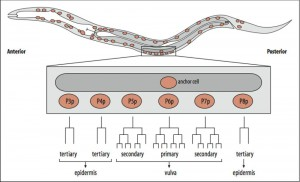 temperature-sensitive-mutant-c-elegans-diversity-cells