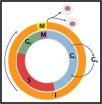 temperature-control-of-cell-cycle3