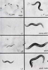 caenorhabditis-elegans-need-of-temperature-control-cycle-eggs-to-adult