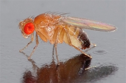 drosophila-melanogaster-temperature-fruit-fly