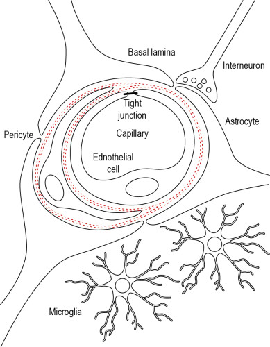 Fig 2 The Blood Brain Barrier Bbb In The Neurovascular Unit