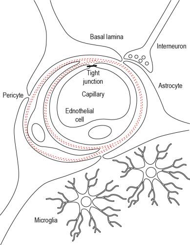Fig. 2: The blood-brain barrier (BBB) in the neurovascular unit (NVU) [1]