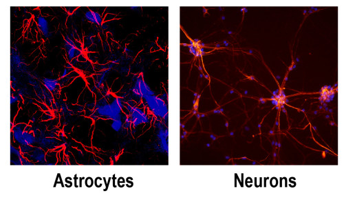 Fig. 4: Astrocytes are key cells within the NVU to differentiate hiPSC and for the BBB formation and maintenance [12].