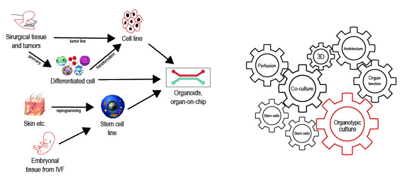 Figure 4: A: representation of the derivation of human cell cultures to obtain human spheroids ; B: synergy and inter-dependency of different cultures approaches. From Pamies and Hartun, 21st century cell culture for 21st century toxicology, Chemical Researchin toxicology, 2016.