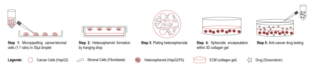 Figure 3: Scheme of the process to test how a drug works on 3D liver cell culture [10]