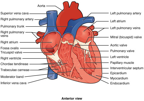 Fig 1: Heart Anatomy