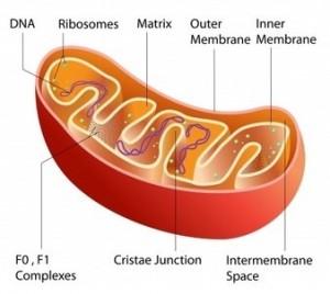 Mitochondria temperature 50°C