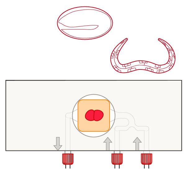 C. elegans Agarose pad