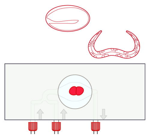 Protocol for C. elegans embryos with spacers