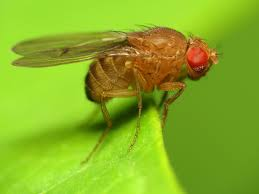 Drosophila melanogaster (fruit fly) temperature control