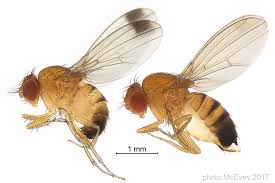 Sexual dimorphism in fruit fly