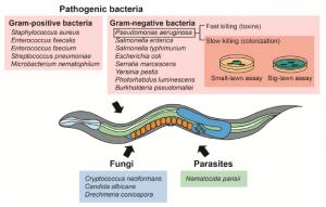 C.elegans pathogen resistance assay