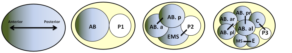 c. elegans assymetric divisions during early development