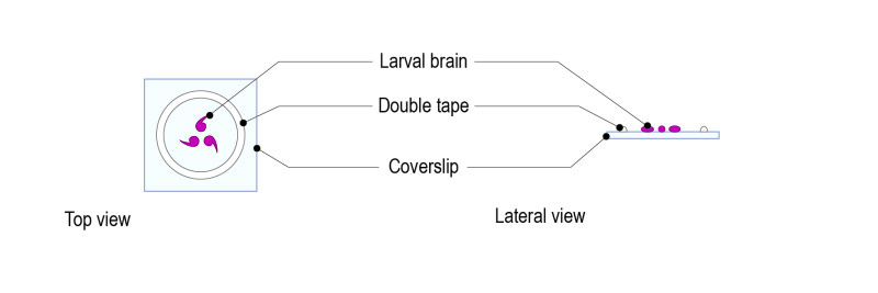 Protocol for Drosophila larval brain_Fig-02