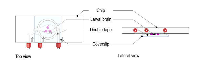 Protocol for Drosophila larval brain_Fig-03