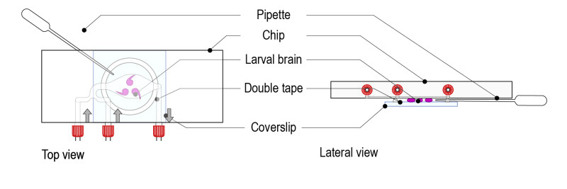 Protocol for Drosophila larval brain_Fig-05