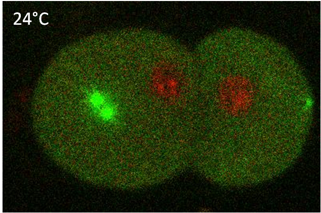 Centrosome regulation in C. elegans embryo first division