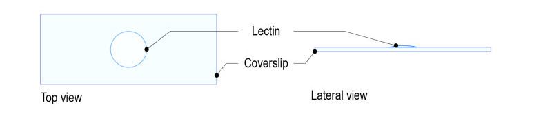 Lectin protocol for yeast_Fig-02