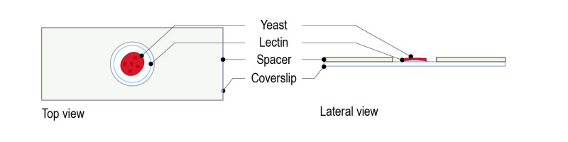 Lectin protocol for yeast_Fig-04