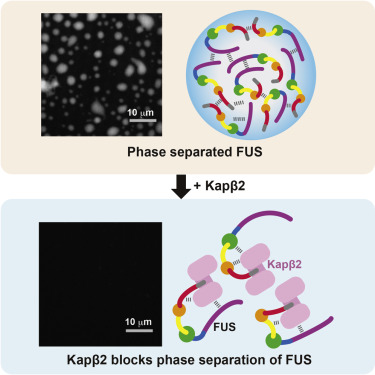 Nuclear Import Receptor Inhibits Phase Separation of FUS through Binding to Multiple Sites