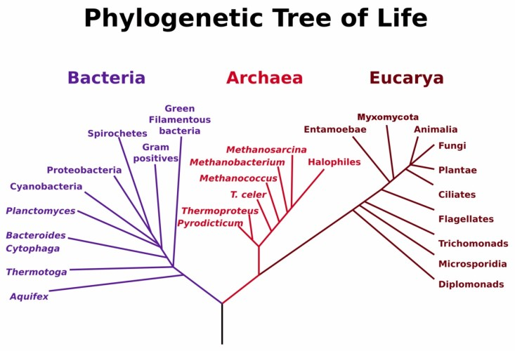 Phyolgenetic tree representing the three domains of life: bacteria, archaea and eukarya. Thermophile organisms have been identified in every branch of the represented tree of life (12).