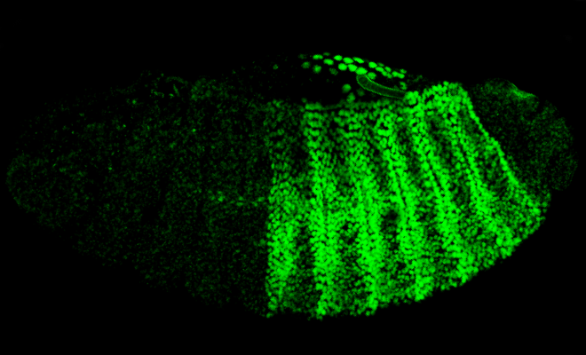 Drosophila embryo live cell imaging