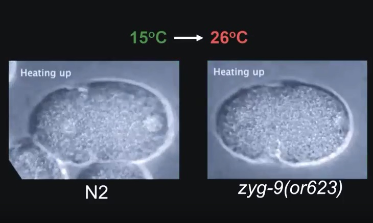 C.elegans embryo division using fast temperature shifts