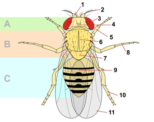 Main adult fly anatomy, some of which are described in the text