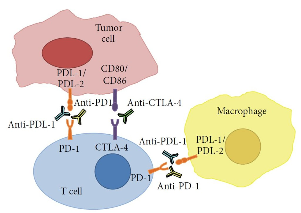 Immuno-oncology_Checkpoint modulators example_Cherry Biotech