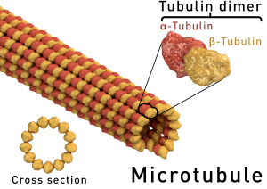 Microtubule structure composed of dimers of a and b tubulin.
