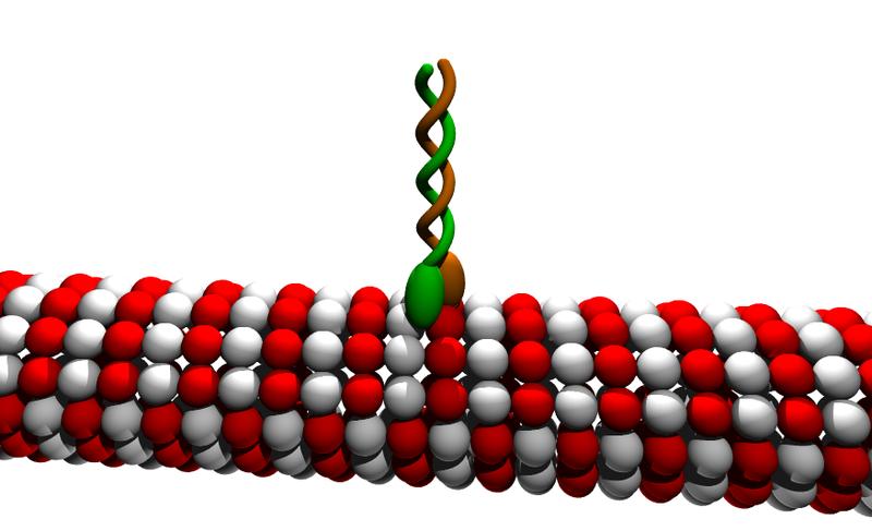 Microtubule binding protein (kinesin, motor protein) binding to microtubule