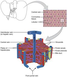 Cherry_Biotech_Liver_Anatomy