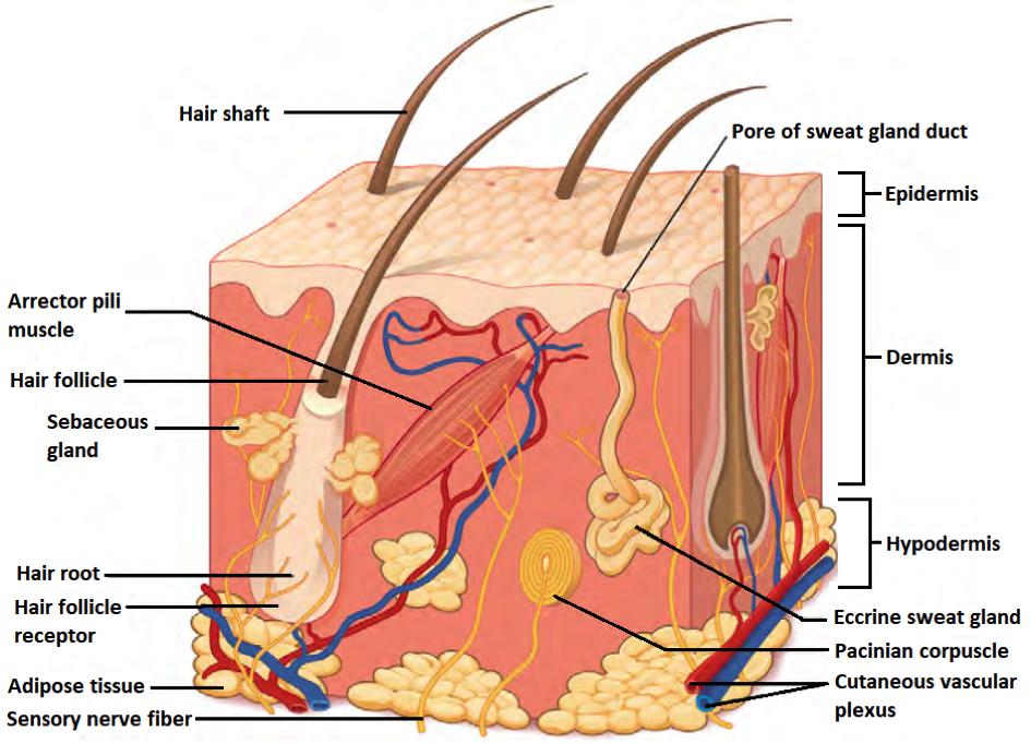 Anatomy-of-the-skin