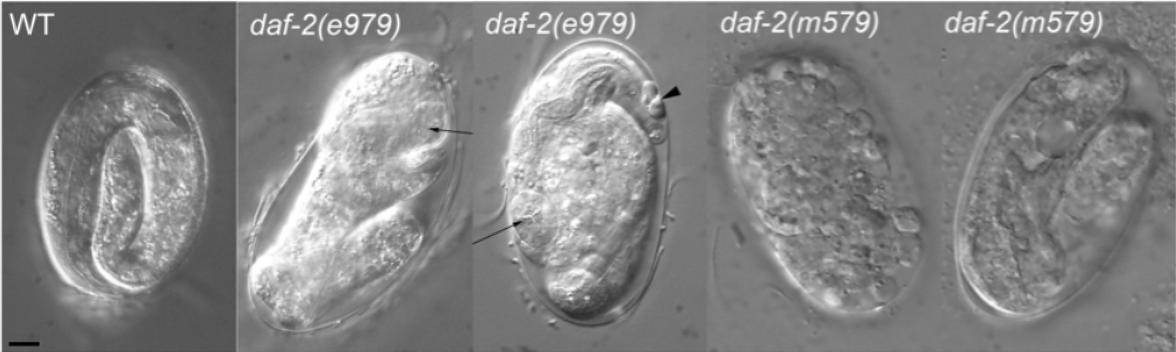The daf-2 insulin receptor functions in C. elegans embryo elongation