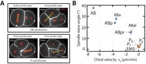 cell-lineage-c-elegans-development