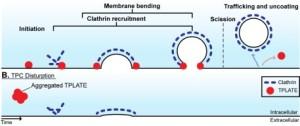 tplate-complex-mediates-plant-clathrin
